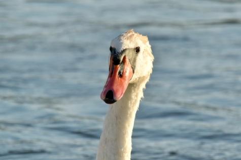 υδρόβιων πουλιών, Κύκνος, νερό, φτερό, ράμφος, φύση, υδρόβια πτηνά, πουλί, κολύμπι, άγρια φύση