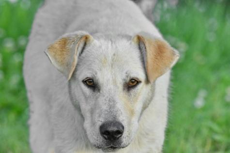 curiosité, chien, oreille, yeux, à la recherche, nez, blanc, animal, mignon, chiot