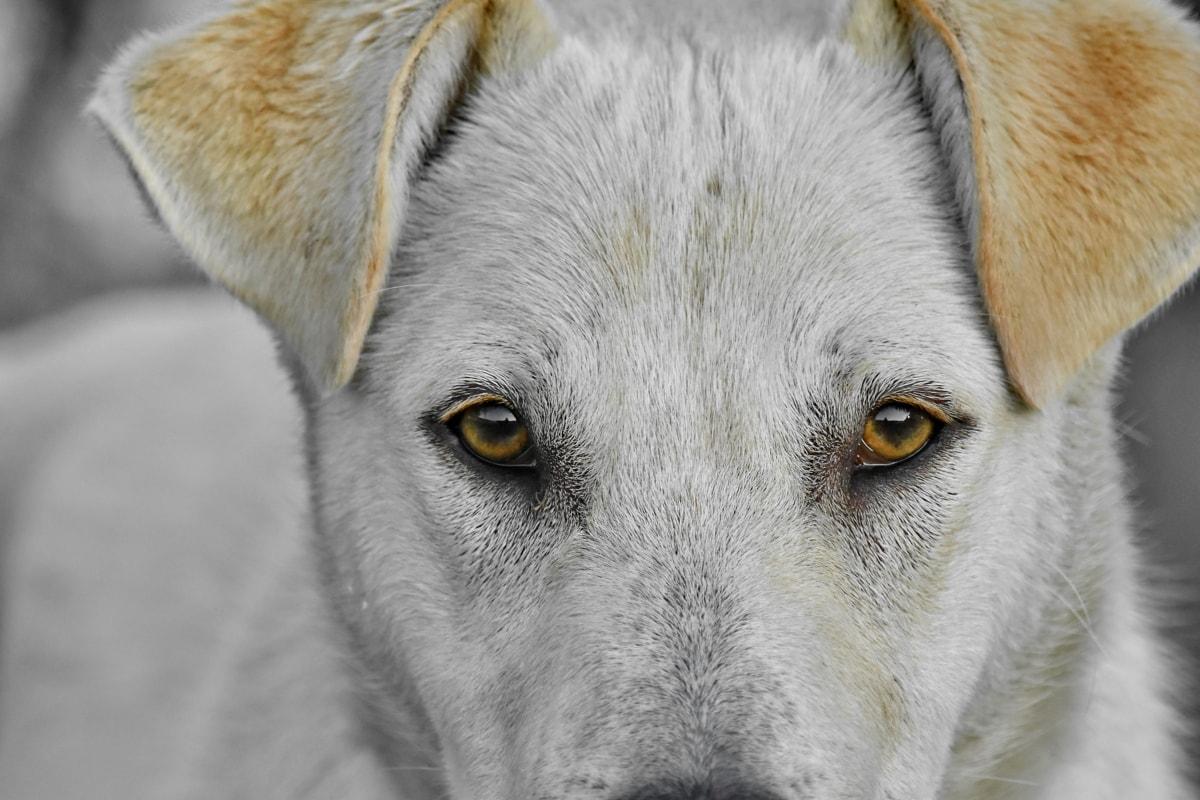 Красив, едър план, куче, очите, макрос, фотография, природата, кучешки, око, животните