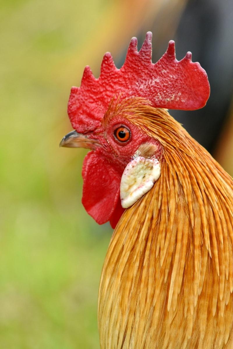 csőr, csirke, közelkép, szem, szempilla, baromfi, falu, állat, természet, madár