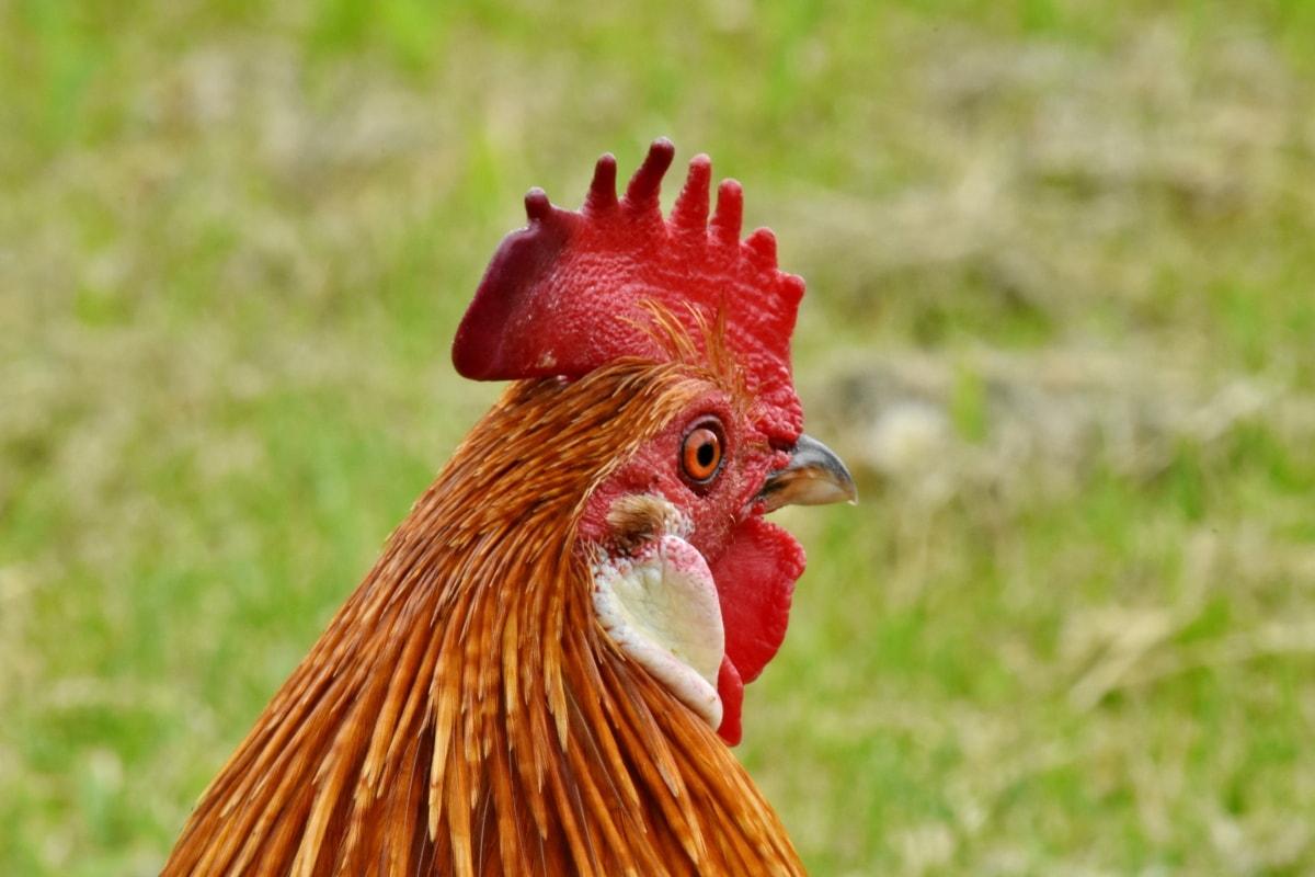 állat, csőr, vidéken, kakas, madár, baromfi, csirke, farm, természet, tyúk