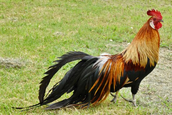 animal, colorful, feather, plumage, rooster, tail, farm, bird, grass, rural
