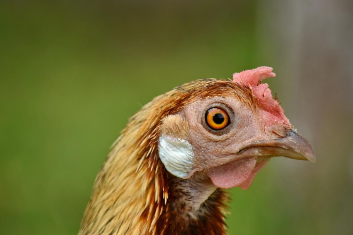 pico, pollo, contacto directo, ojo, pluma, macro, gallina, animal, pájaro, aves de corral