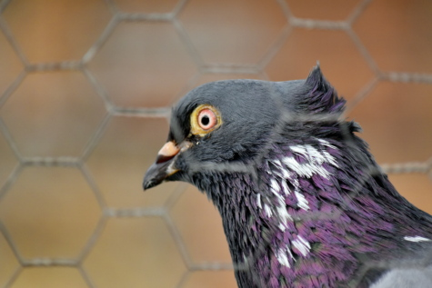 cage, feather, fence, head, pigeon, portrait, purple, side view, wires, nature