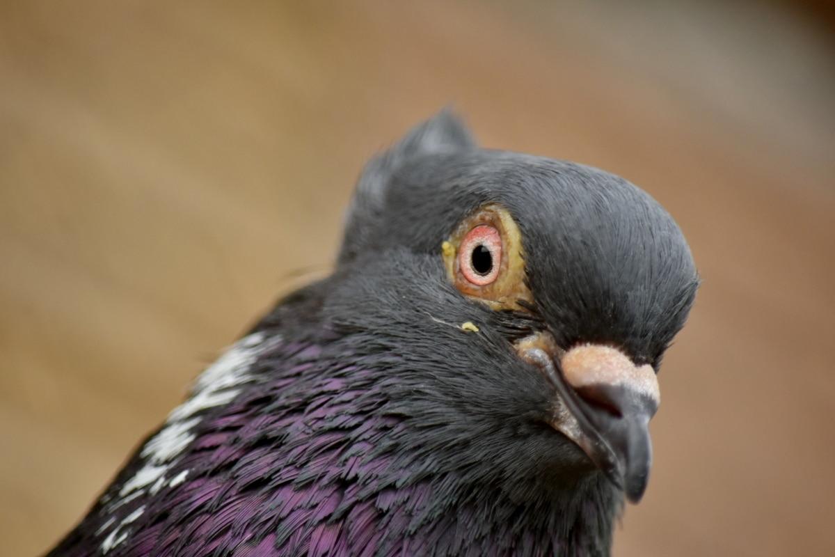 beak, close-up, eye, eyeball, feather, head, macro, pigeon, portrait, animal