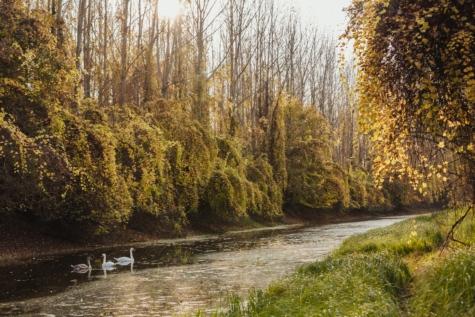 Φθινόπωρο σεζόν, οικογένεια πουλιών, βάλτο, Κύκνος, δέντρα, φύλλο, δέντρο, φύση, δάσος, Λίμνη