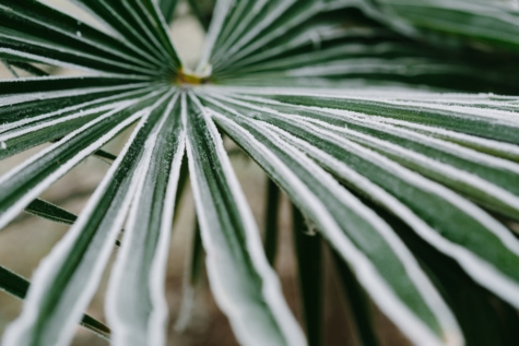 cold, frost, green leaves, palm, sharp, winter, leaf, nature, tropical, flora