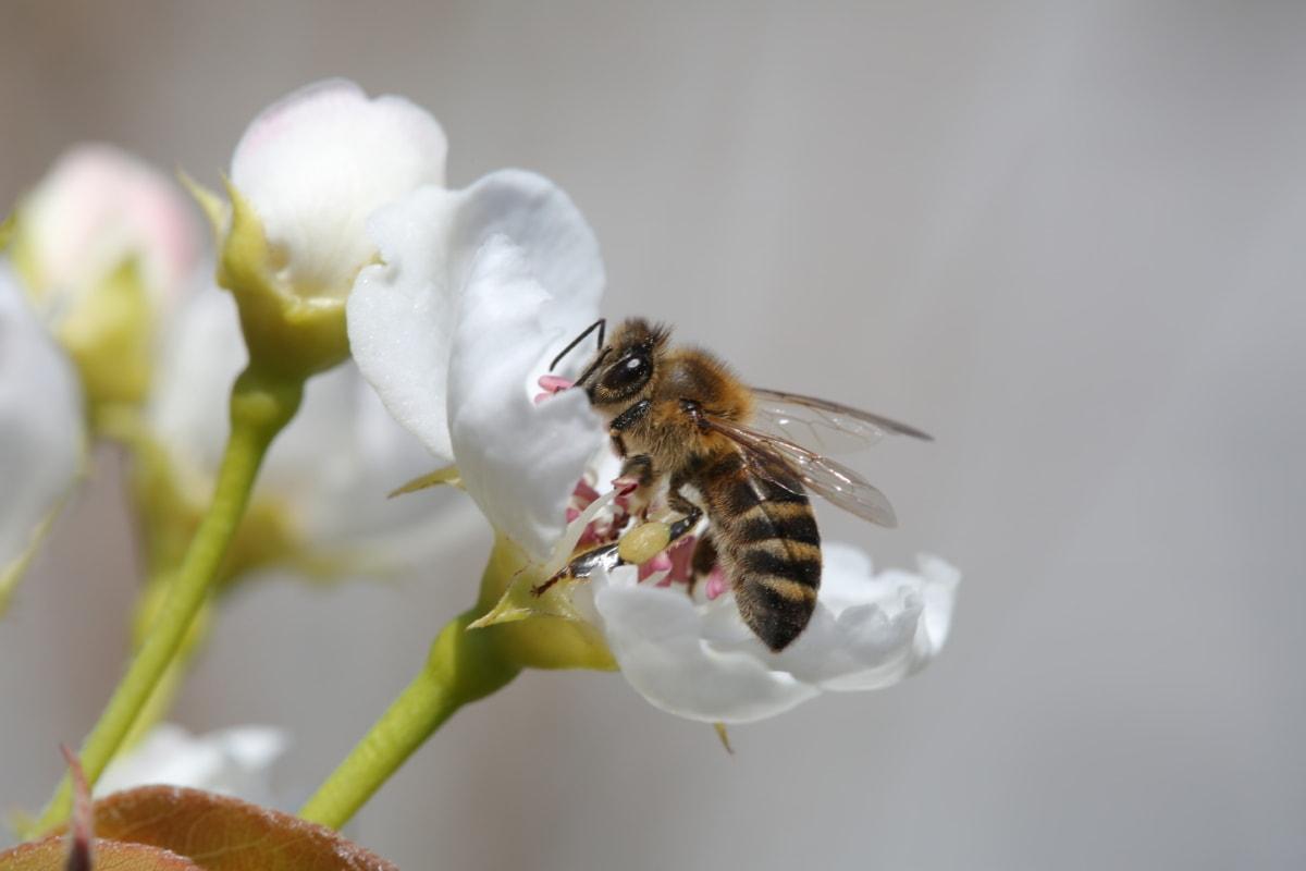 Posas, Detaljer, honungsbinas, vit blomma, vingar, naturen, bi, ryggradslösa djur, blomma, arbetare