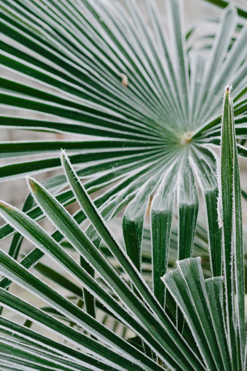 cold, frost, green leaves, palm, sharp, thorn, tree, leaf, flora, plant