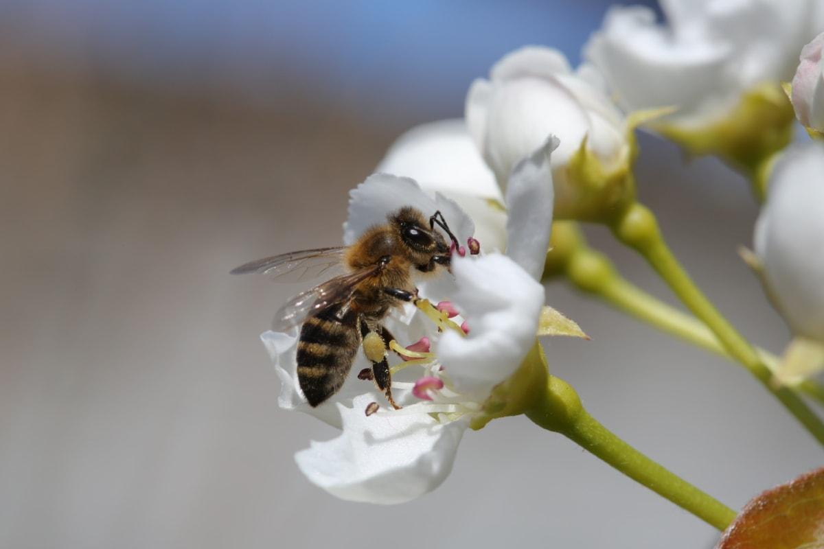 blomma, leddjur, ryggradslösa djur, bi, arbetare, insekt, spring, trädgård, blomma, kronblad