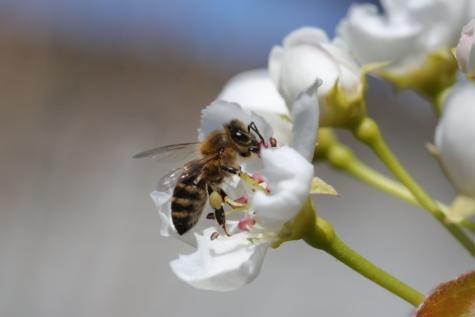 kwiat, stawonogi, bezkręgowców, Pszczoła, pracownik, owad, sprężynowy, ogród, kwiat, Płatek
