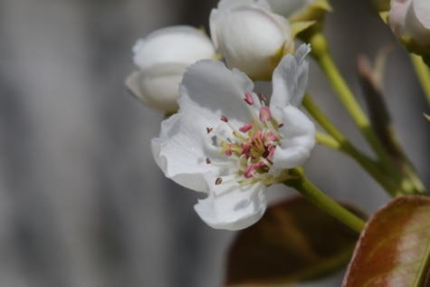 bibe, fehér virág, tavaszi, virág, fa, kivirul, szirom, természet, kert, virágzás