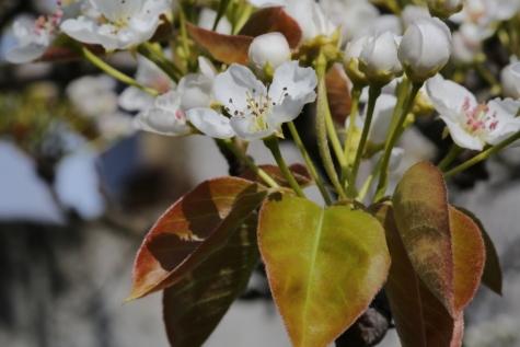 fióktelep, tavaszi, fa, levél, természet, virág, kivirul, cserje, növény, kert