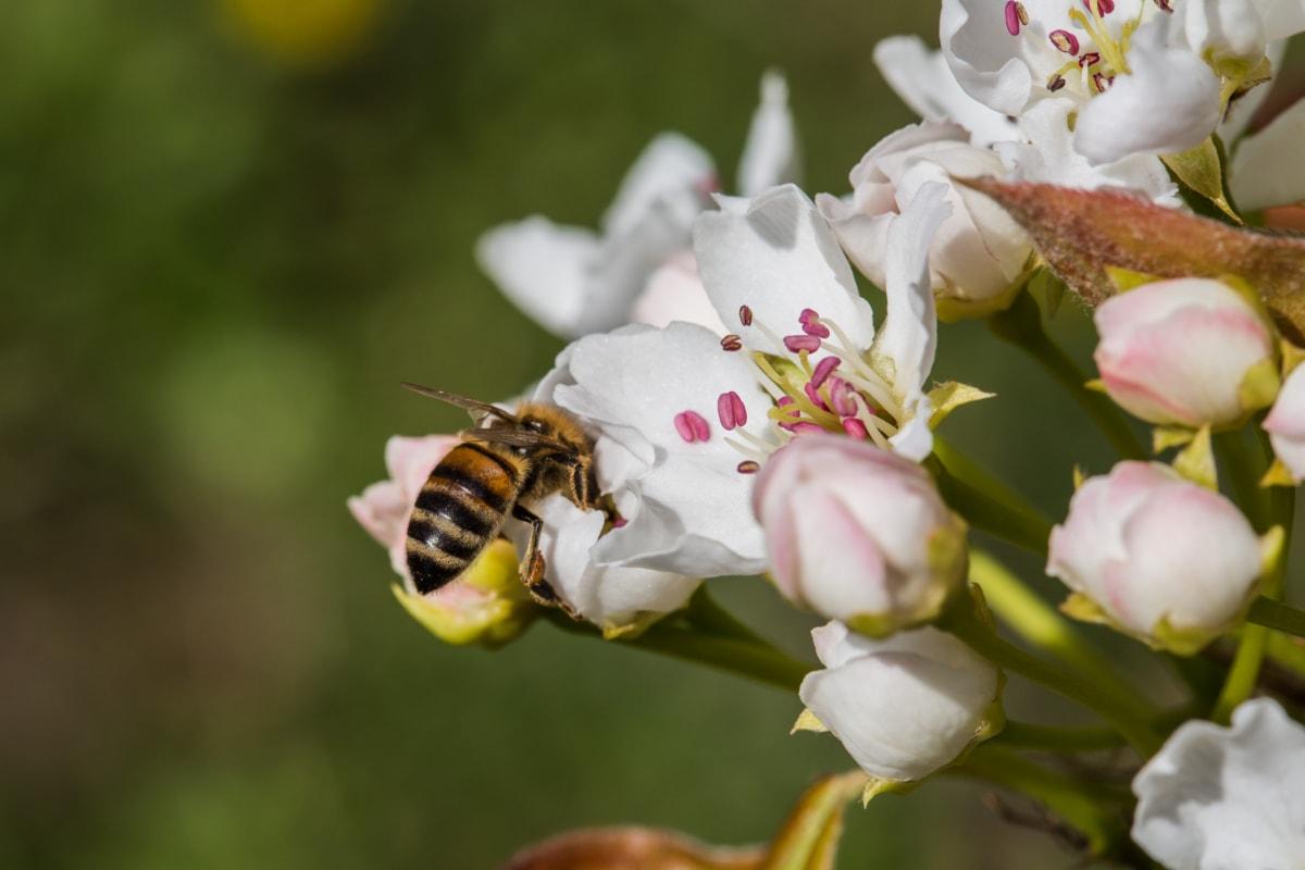 Biene, Insekt, Bestäubung, Blume, Frühling, Anlage, Blüte, Gliederfüßer, Honig, Arbeiter