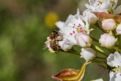 Biene, Honigbiene, Insekt, Blütenblatt, Blüte, Ast, Blume, Natur, Frühling, Garten