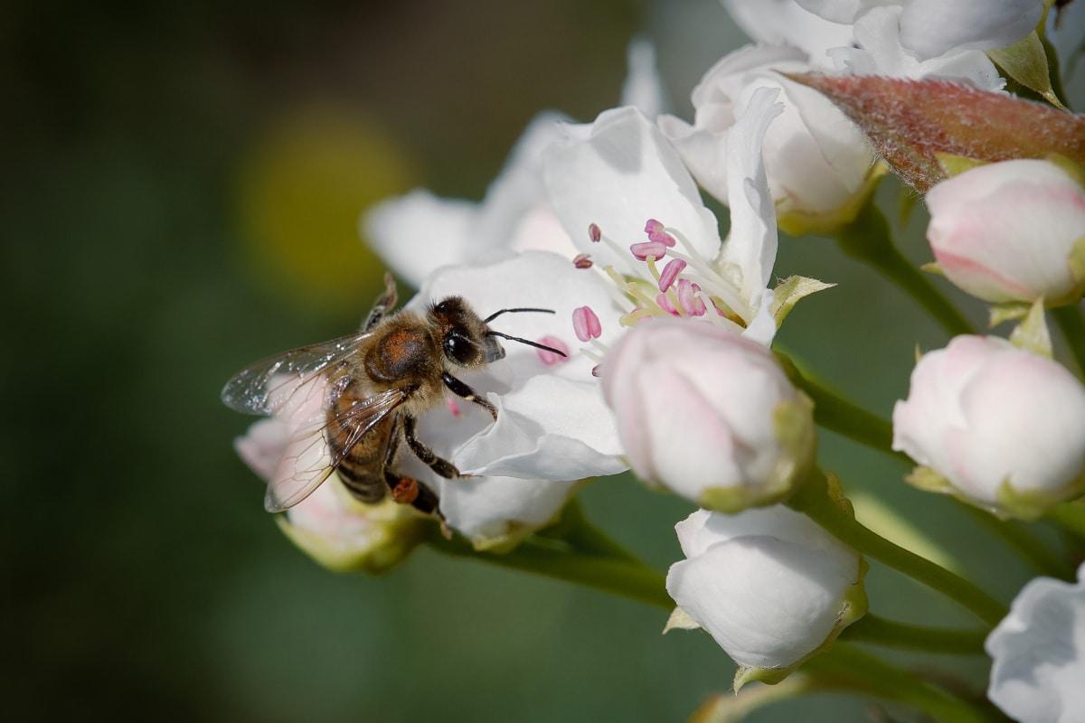 dichtbij, oog, oogbol, honingbij, insect, bestuiving, Pollinator, bij, plant, bloemblad