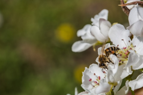 bee, honeybee, insect, pollinating, pollinator, almond, blossom, tree, flower, nature