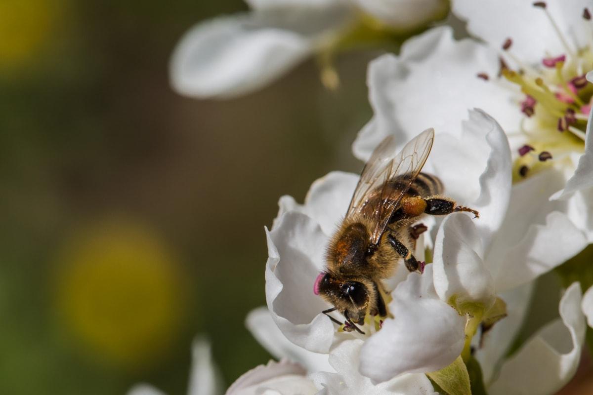 Biene, Insekt, Gliederfüßer, Pollen, Natur, Blume, Frühling, wirbellos, Honig, Garten