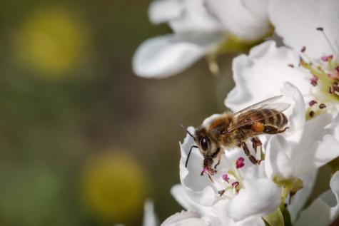 ผึ้ง, ใกล้ชิด, รายละเอียด, ไร้ขน, บิน, แมลง, ปีก, ละอองเกสร, โรงงาน, ฤดูใบไม้ผลิ