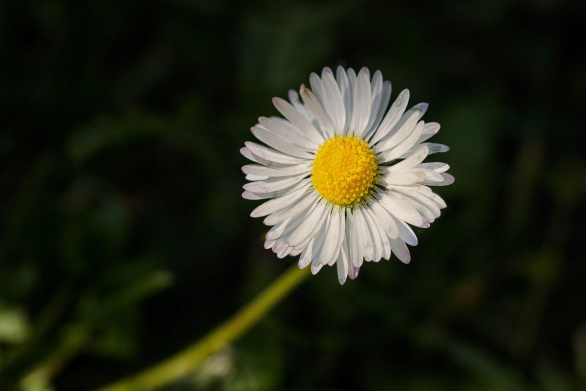daisy, macro, pollen, single, white flower, plant, blossom, meadow, flower, garden