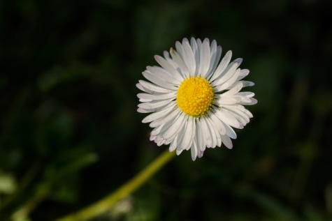 daisy, macro, pollen, single, white flower, plant, blossom, meadow, flower, garden