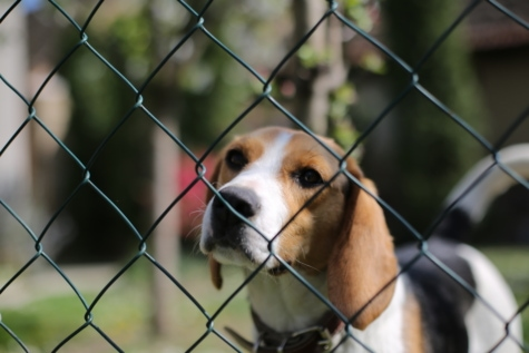 beagle, collar, cute, domestic, fence line, puppy, canine, pet, breed, dog