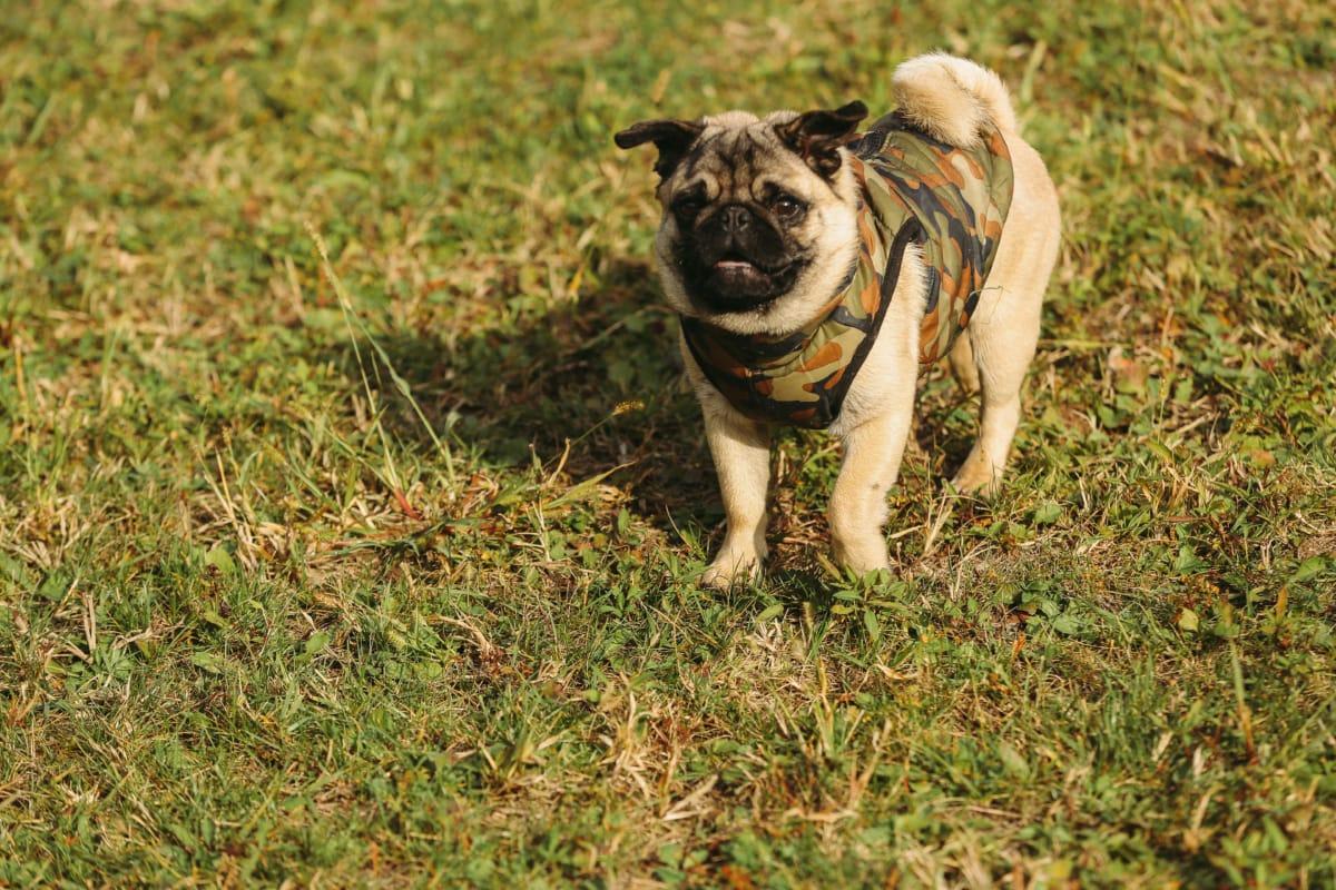 adorable, clito., curiosité, mignon, herbe, pedigree, de race, chien, animal de compagnie, canine