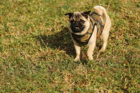 очарователни, кърпа, любопитство, сладък, трева, родословие, чистокръвни, куче, домашен любимец, кучешки