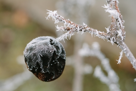 branches, cold, frosty, frozen, winter, season, fruit, plant, tree, branch