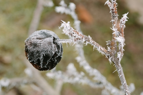 tree, nature, winter, frost, frozen, snow, upclose, outdoors, branch, flora