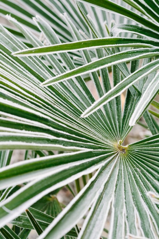 frost, green leaves, ice crystal, palm, nature, leaf, tropical, flora, garden, summer