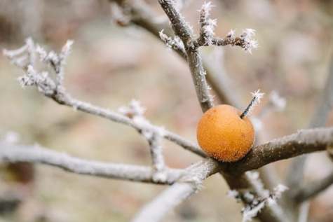 frost, frozen, fruit, snowflake, twig, tree, branch, plant, vitamin, leaf