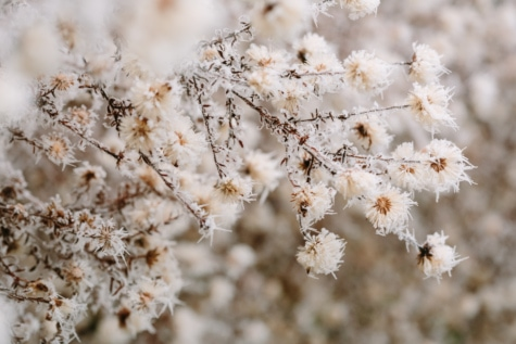 студено, детайли, скреж, мразовит, лед, ледени кристали, снежинка, зимни, сезон, цвете