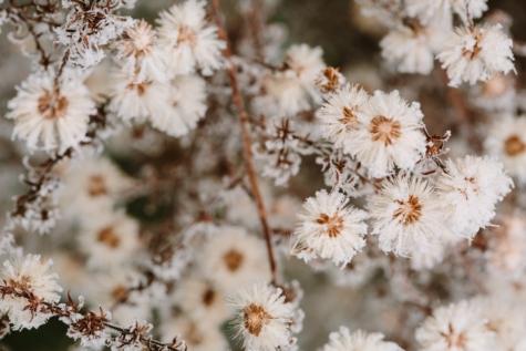 υποκαταστήματα, παγετός, πάγου, φυτό, άνοιξη, θάμνος, πέταλο, βότανο, λουλούδι, φύση