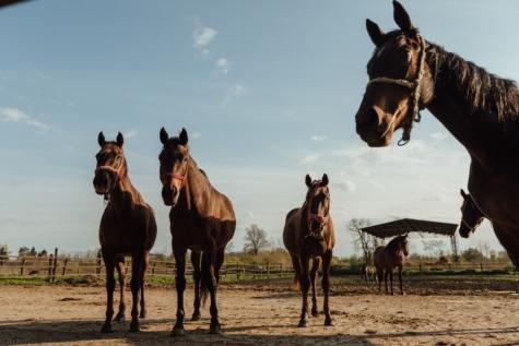 konji, konj, farma, konjski, pastuh, konjica, životinja, stoka, Mustang, poljoprivreda