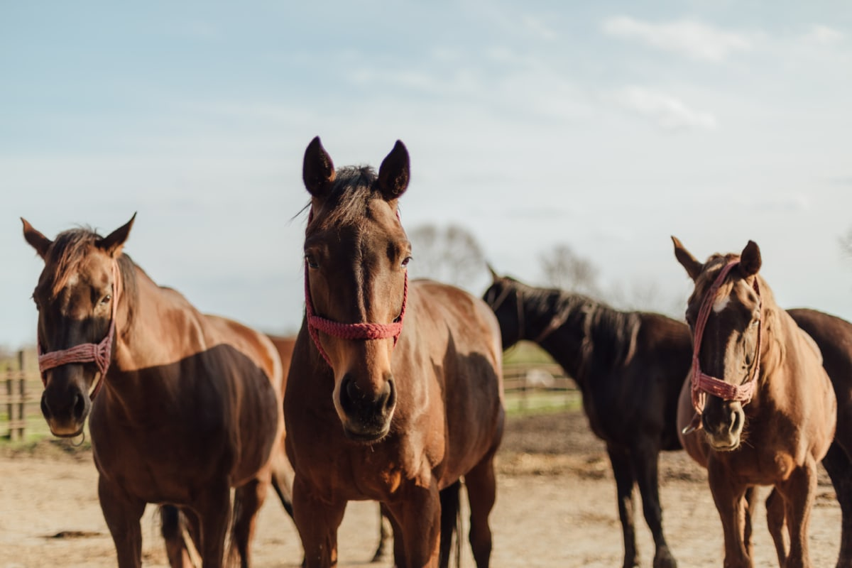 brown, horses, three, horse, cavalry, mare, equine, animal, stallion, farm