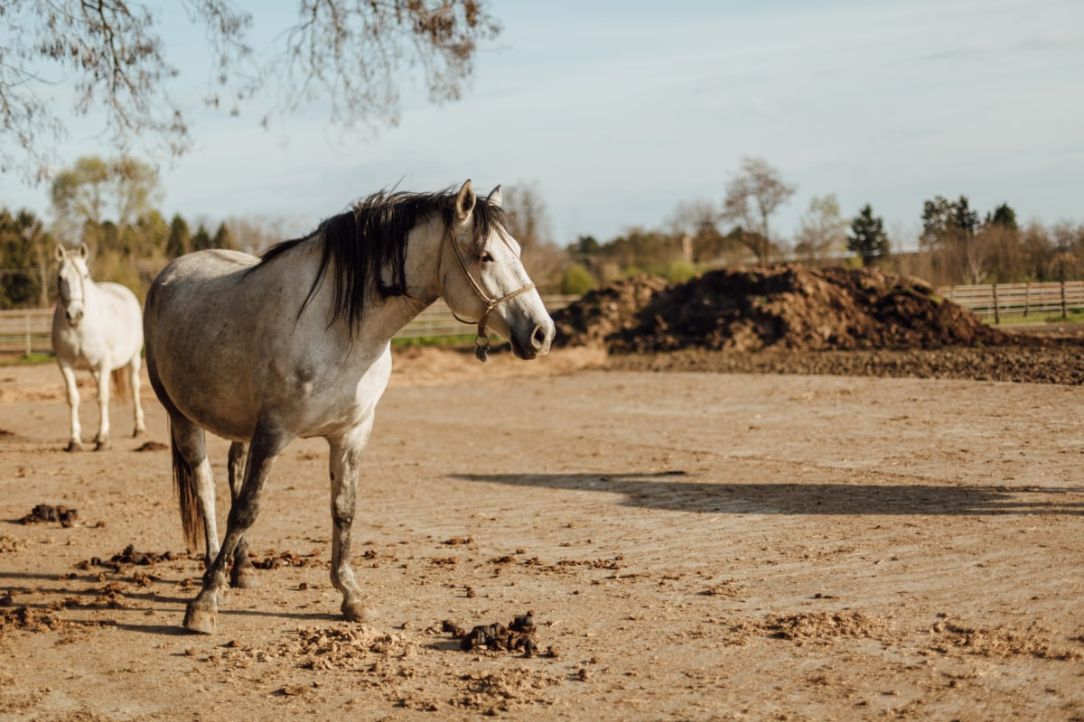 livestock, stallion, white, horses, animal, equine, farm, horse, ranch, grass
