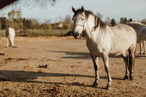 horse, pedigree, purebred, standing, white, stallion, animal, horses, farm, cavalry