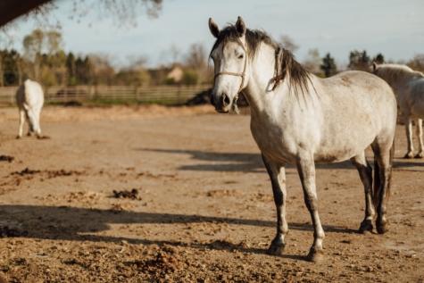 cavalo, pedigree, raça pura, em pé, branco, garanhão, animal, cavalos, fazenda, cavalaria