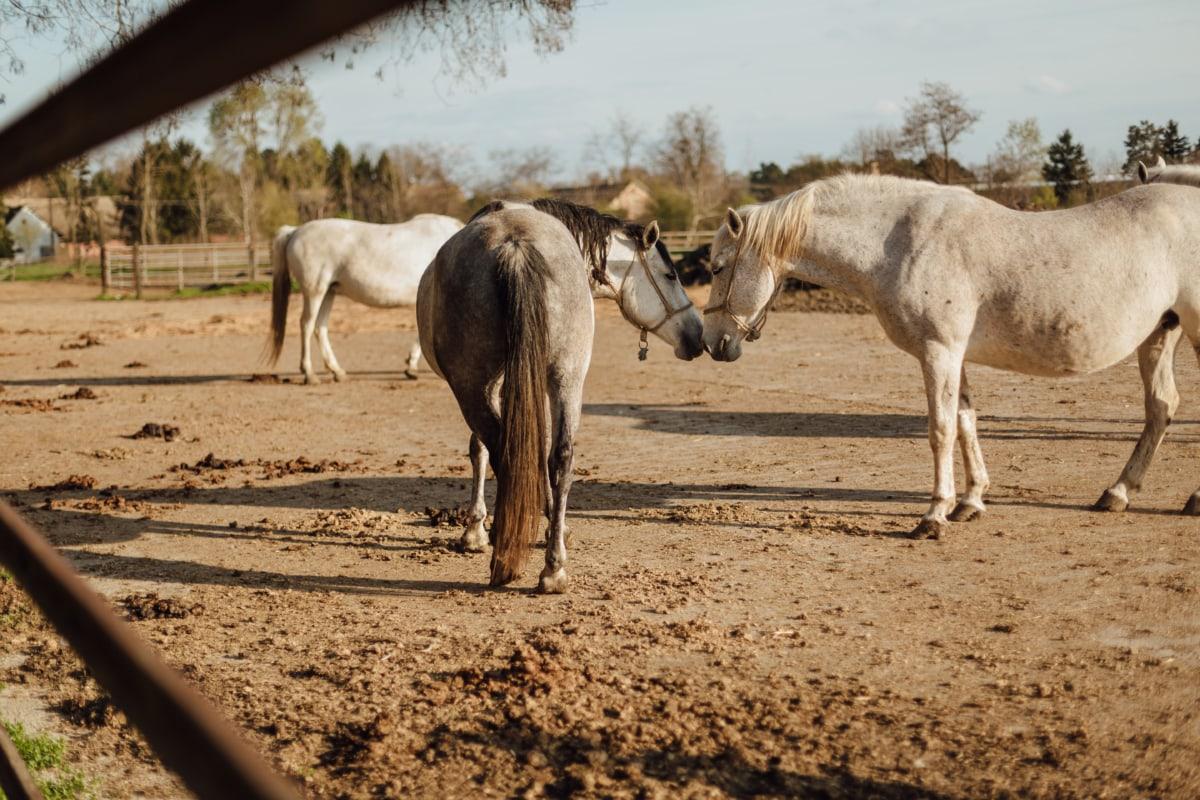 djur, landsbygd, jordbruksmark, hästar, Kärlek, ranch, samhörighet, hästdjur, häst, gård