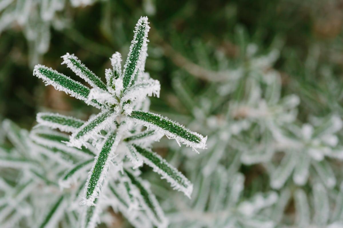 студено, скреж, зелени листа, зимни, растителна, флора, природата, билка, сезон, едър план