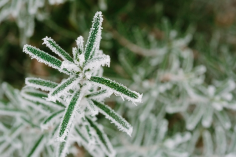 cold, frost, green leaves, winter, plant, flora, nature, herb, season, upclose