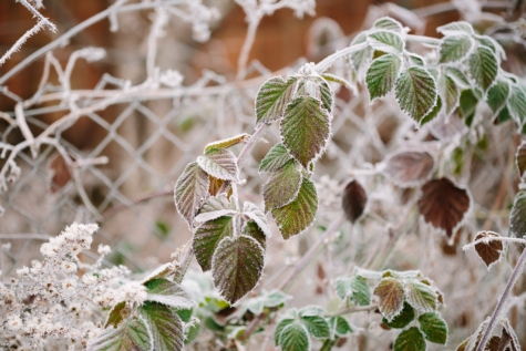 bushes, frosty, green leaves, snowflakes, twig, nature, frost, leaf, flora, outdoors