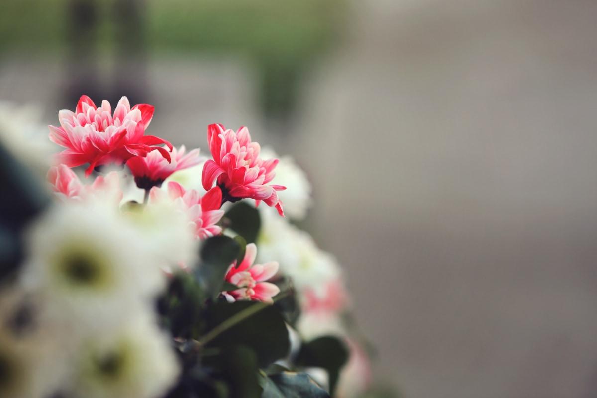 flower, petal, plant, blossom, pink, garden, spring, flowers, flora, bloom