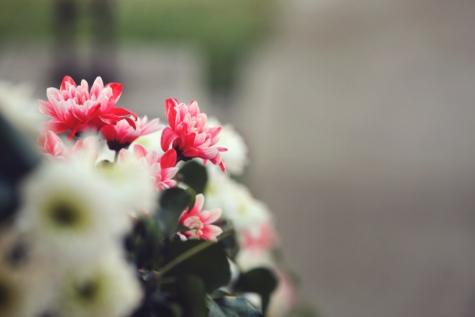 flor, Pétalo, planta, flor, rosa, Jardín, resorte, flores, flora, floración