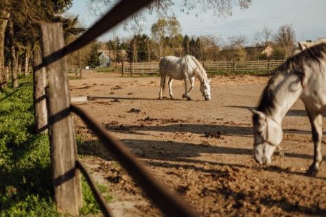 animais, terras agrícolas, cerca, cavalos, rancho, rural, vila, branco, cavalo, animal