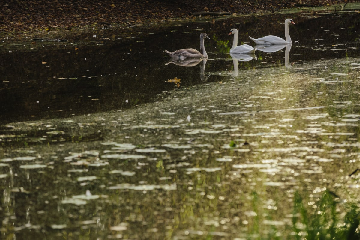 Vogel-Familie, Sumpf, Schwan, Vogel, See, Wasser, Reflexion, Schwimmbad, Wasservögel, Natur