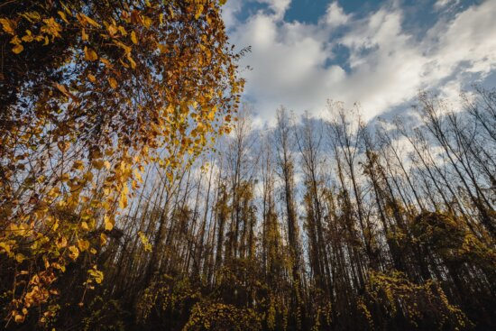 willow, forest, poplar, landscape, autumn, tree, wood, trees, nature, leaf