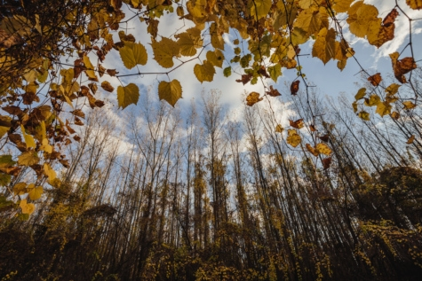 autumn, poplar, nature, wood, tree, forest, leaf, fair weather, bright, maple