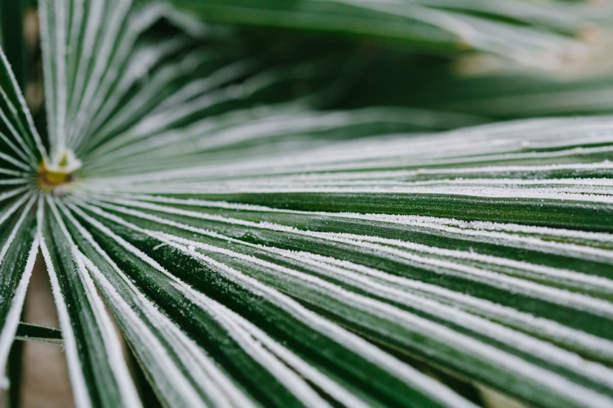 cold, frost, frosty, green leaves, palm, leaf, plant, nature, flora, outdoors